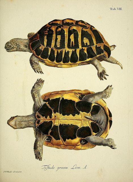 Vintage Turtle Illustration