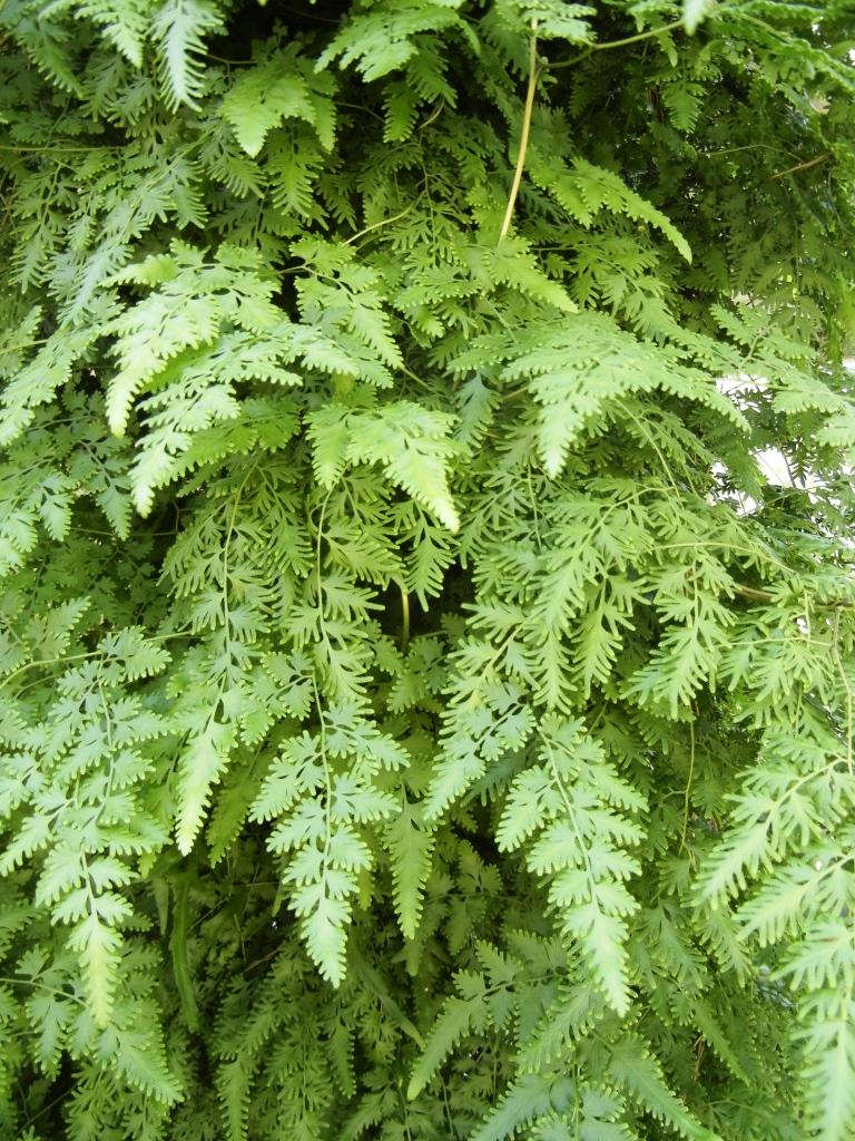 japanese-climbing-fern