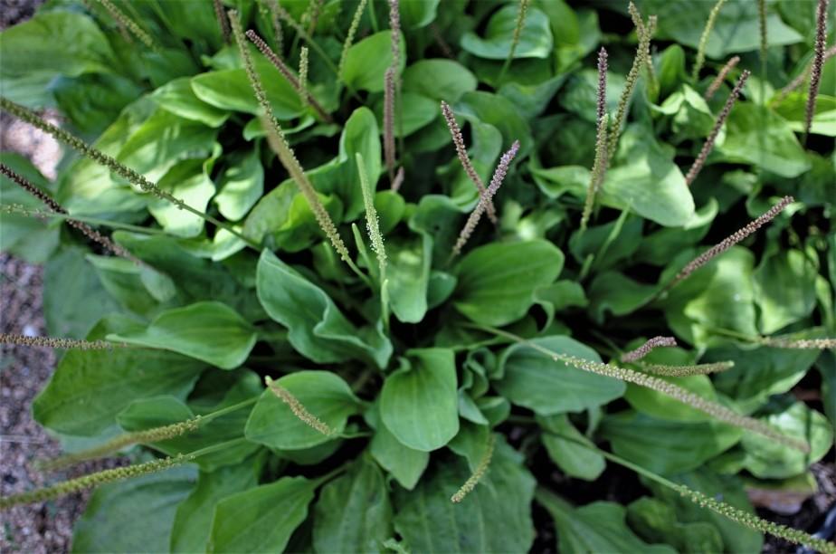 Plantian 1